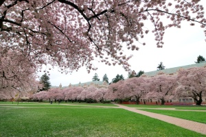 campus with cherry blossom
