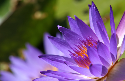 Water-Lilies33